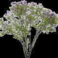 meye_syringa-vulgaris_F2354_small.png
